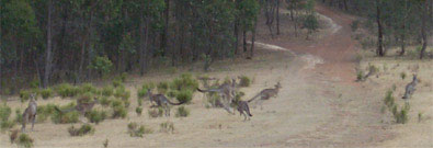 One of the mobs of kangaroos that come and visit